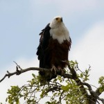 African Fish Eagle - Visarend
