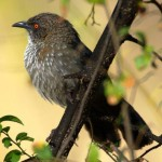 Arrow Marked Babbler - Pylvlek Katlagter