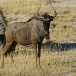 Blue wildebeest species