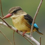 Brown Hooded Kingfisher - Bruinkop Visvanger