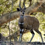 Bushbuck species