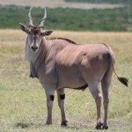Common Eland species