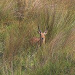Common Reedbuck species