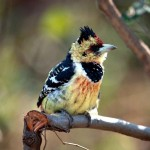 Crested Barbet - Kuifkop Houtkapper