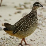 Crested Francolin - Bospatrys