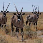 Gemsbok oryx species