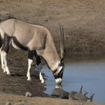 Gemsbok species drinking