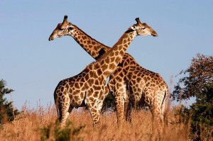 Giraffe species