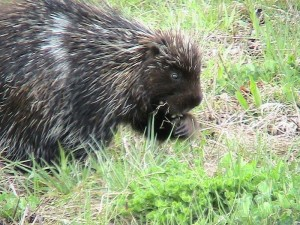 Porcupine species