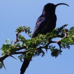 Scimitar-Billed Wood Hoopoe - Swartbek Kakelaar