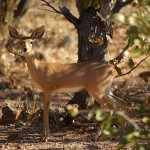 Steenbok species female