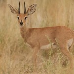 Steenbok species male