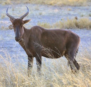 Tsessebe species