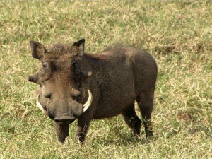 Warthog species