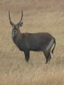 Waterbuck species male