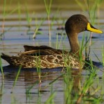 Yellow Billed Duck - Geelbek Eend