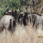 Blue Wildebeest side 20110618