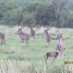 Kudu, Eland and Blesbuck 20111231