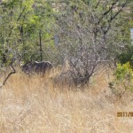 Kudu along the fence 20110702