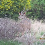 Kudu from behind 20111228