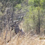 Kudu horns in the sun 20110702