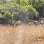 Kudu running along the fence 20110702
