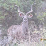 Kudu spotted closer 20111228