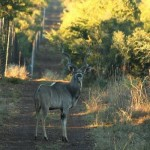 Kudu standing in the path 20080605
