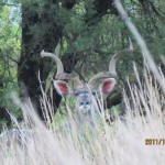 Kudu through the grass 20111231
