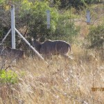 Kudu walking along the fence 20110702