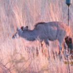 Kudu water hole female at dusk 20110703