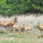 Red Hartebeest and their young 20111228