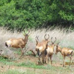 Red Hartebeest behind 20111228