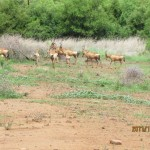 Red Hartebeest crossing 20111228