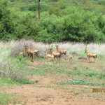 Red Hartebeest family 20111228