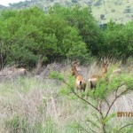 Red Hartebeest in the bush 20111228