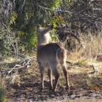 Waterbuck young behind 20110716