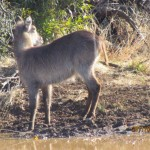 Waterbuck young side 20110716