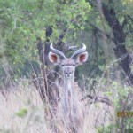 Young Kudu spotted 20111228