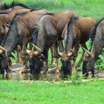Blue Wildebeest drinking 20130114