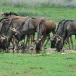 Blue Wildebeest group 20130114