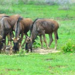 Blue Wildebeest plus one 20130114