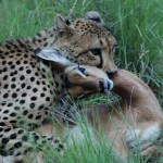 Cheetah kill upl20120114