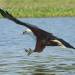 Fish Eagle African upl20120114
