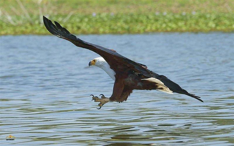 African Fishing Fish Eagle African Upl20120114