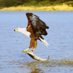 Fish Eagle catch upl20120114