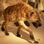 Hyena reconstruction upl20120114