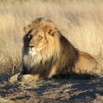Lion waiting upl20120114