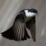Restless flycatcher upl20120114