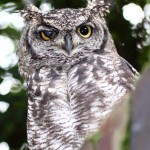 Spotted Eagle Owl upl20120114